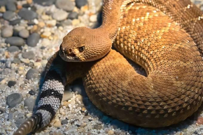rattlesnake_reddiamond